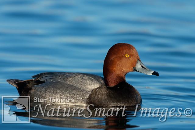 Redhead Duck breeding male Tekiela RJ1V9227