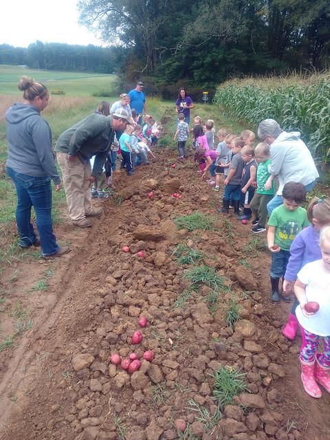Elementary school students in northwestern Pennsylvania harvesting potatoes