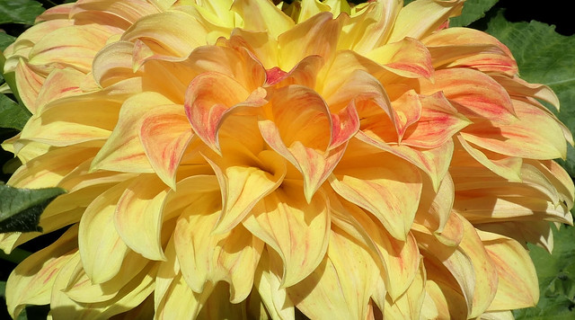 Beautiful Dahlia Layers