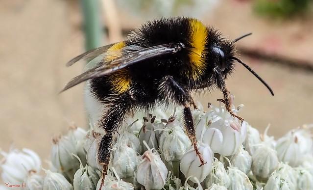 Bee -7497