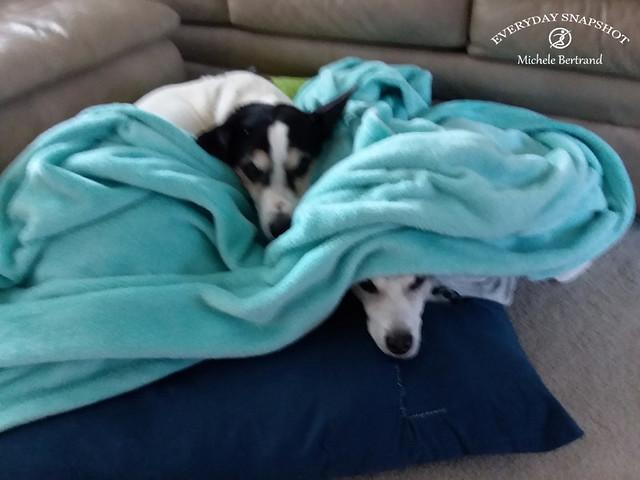 Dogs in Blue Blanket (1)