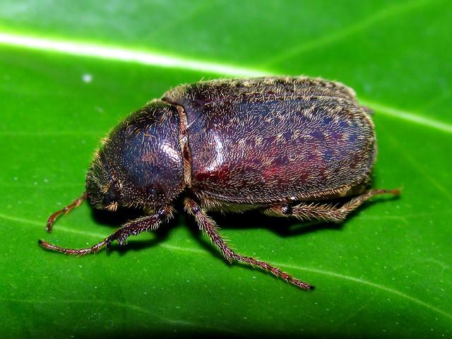 Plectris pavida (Coleoptera:Melolonthidae)