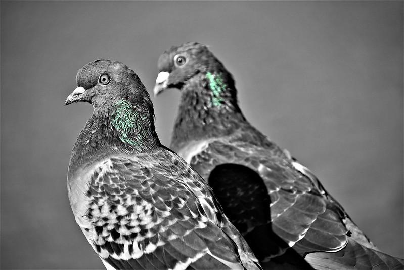 Pigeons 28.09 (4)