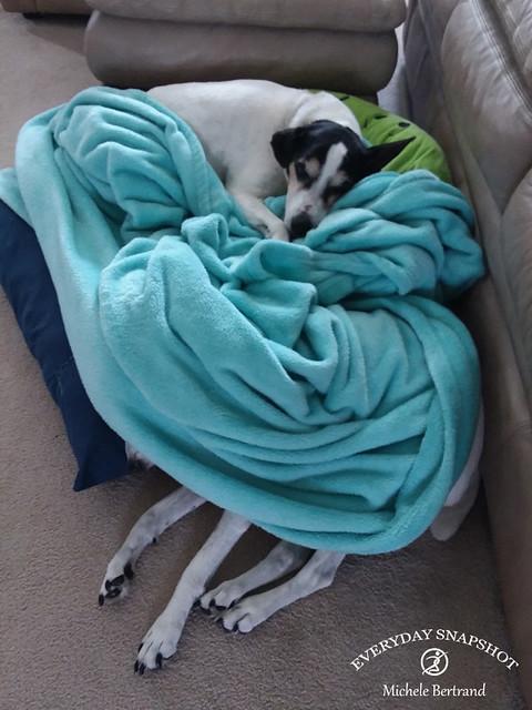 Dogs in Blue Blanket (2)