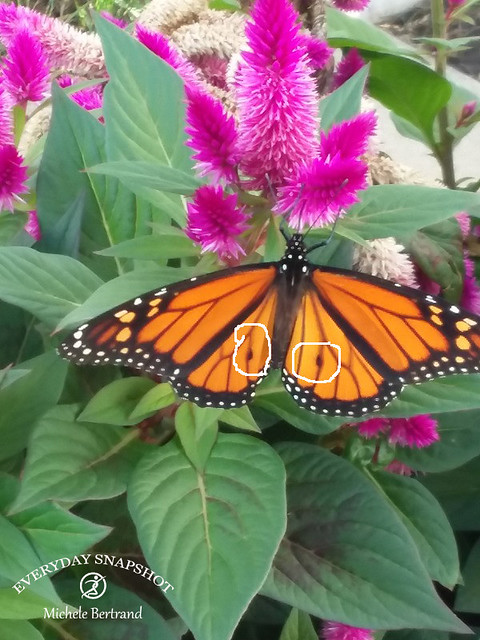 Butterfly (2)