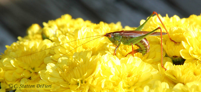 Autumn Katydid on Mum flowers