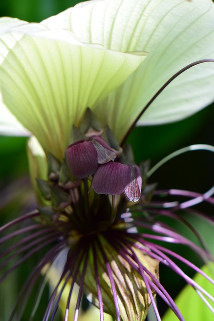 Bat Flower - una flor exotica.