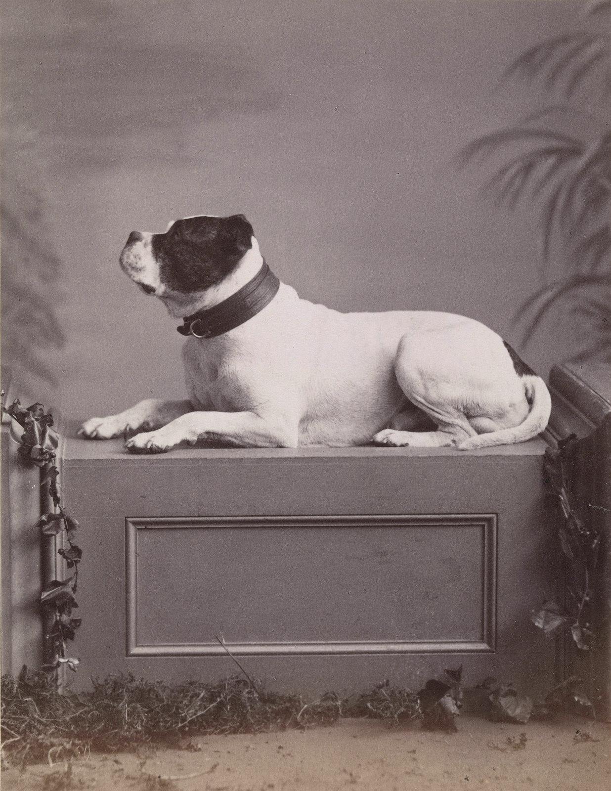 34. Бен, собака Йоркского и Ланкастерского полка