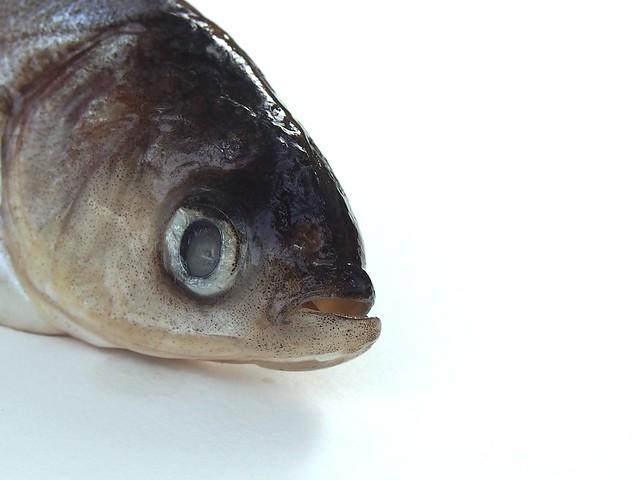 Silver carp (invasive)