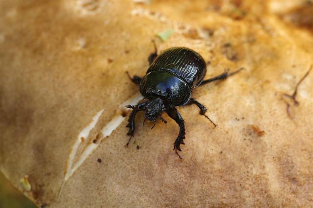 Door Beetle....