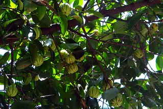 Garcinia Cambogia: What You Need to Know