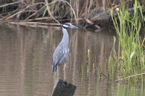 Yellow-crowned Night-heron (Nyctanassa violacea), Mobile River, Mobile, Alabama. 21st October 2007. IMG_6213