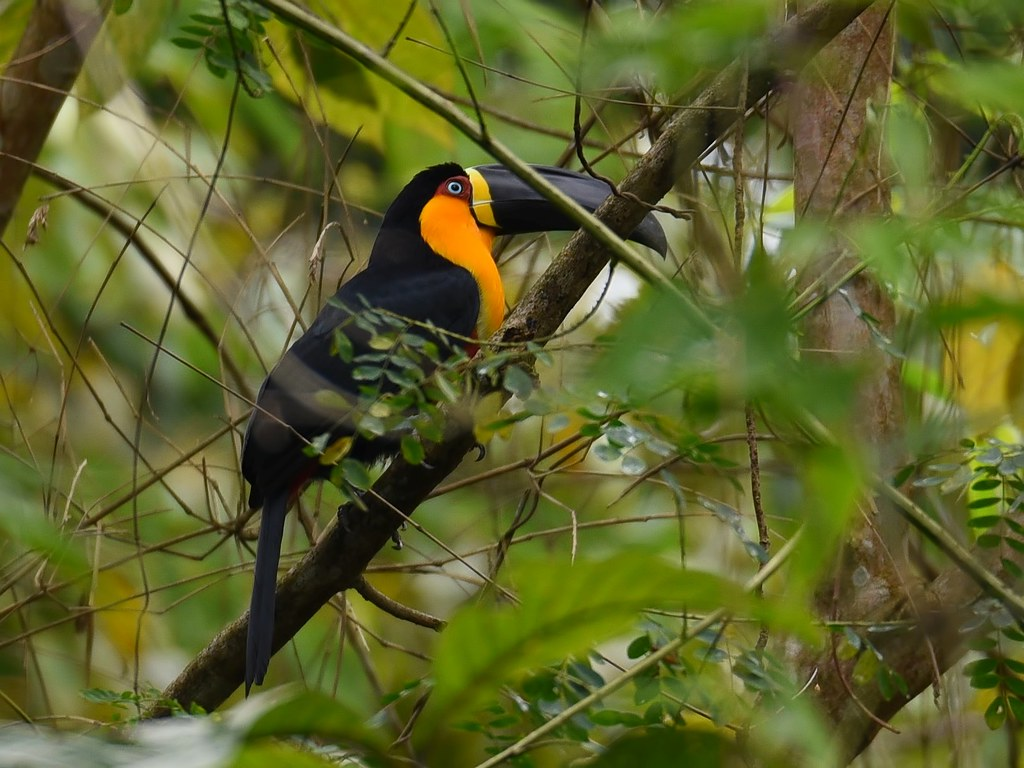 Tucano-de-bico-preto / Channel-billed Toucan