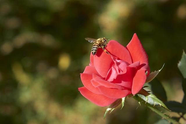 Honey Bee On Red Rose - Nice