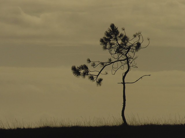 Arbre solitaire.. Lonely tree..