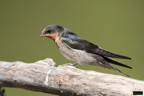 hirundoneoxenaneoxena hirundoneoxena hirundo neoxena welcomeswallow welcome swallow richmondlowlands nsw australia leastconcern immature