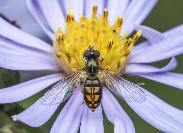 Hover Fly - Toxomerus marginatus (Syrphidae, Syrphinae, Toxomerini) 119z-9226447