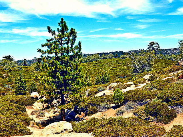 Lone Pine at the National Children's Forest, SBNF
