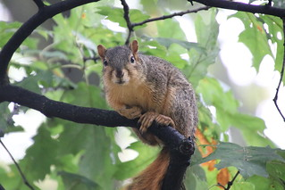 114/366/4131 (October 3, 2019) - Juvenile and Adult Fox Squirrels in Ann Arbor at the University of Michigan - October 3rd, 2019