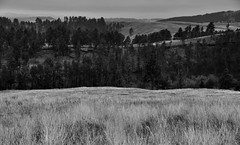 Ponderosa Pines with Rolling Hills and Prairie Grasses (Black & White, Wind Cave National Park)