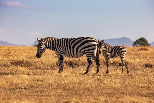 Zebra Mother & Foal