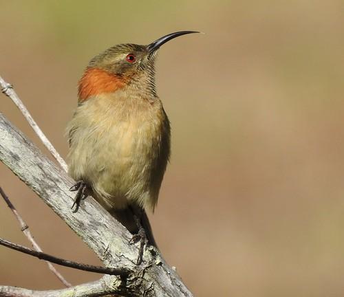 Western Spinebill - Female