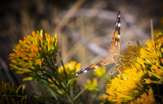 Butterflies and Flowers III