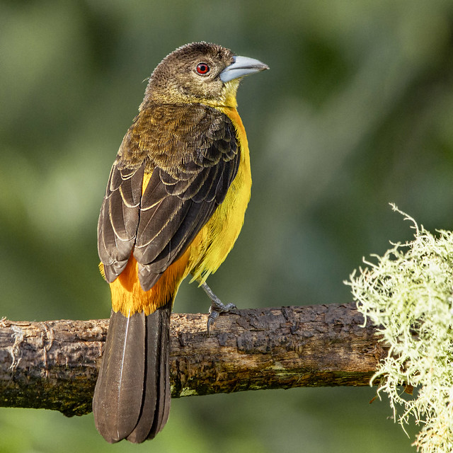 Ramphocelus flammigerus -female- (Flame-rumped Tanager / Toche)