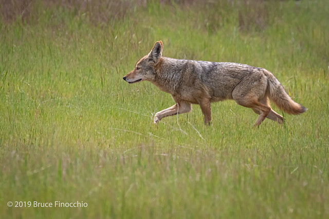 Coyote On The Move Through The Early Spring Grass