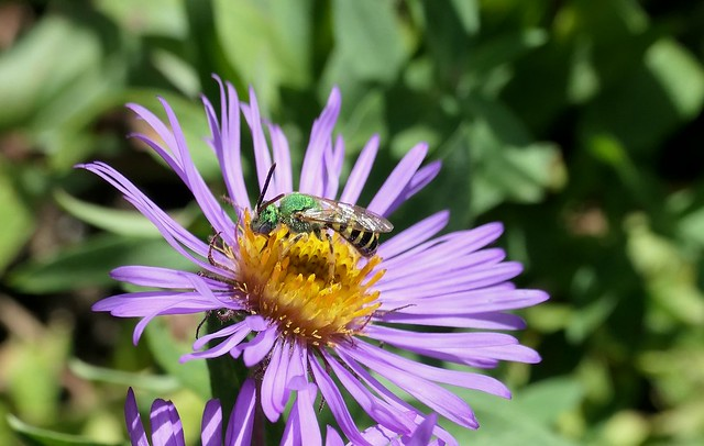 Bicolored Striped-Sweat Bee on Aster