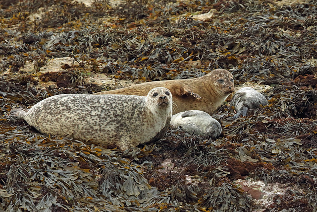 Harbour Seal, Loch na Keal, Isle of Mull