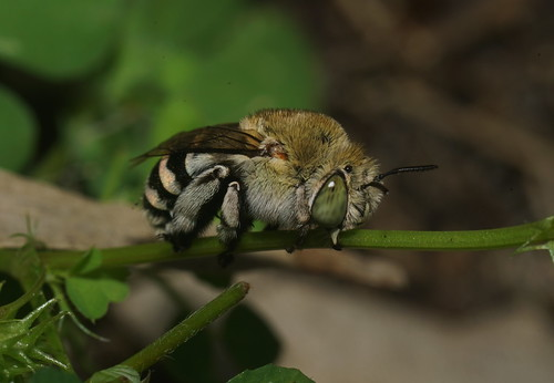 Banded Bee resting,they clamp on with thier jaws and feet.