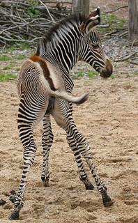 Grevy zebra-Equus grevyi