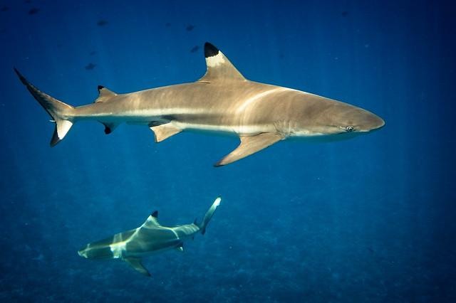 Blackfin shark