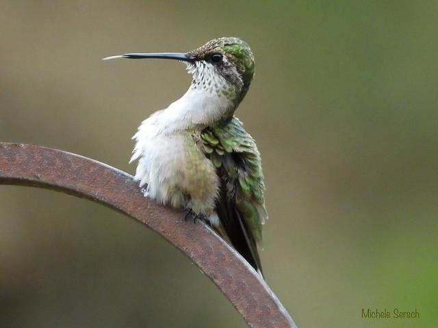 Young hummingbird