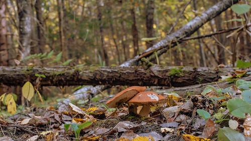 Подосиновик красный (Leccinum aurantiacum) в октябре Автор: Вячеслав Степанов