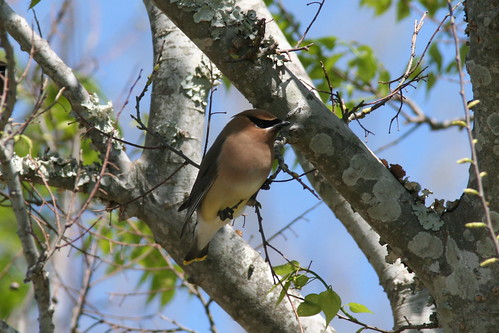 Cedar Waxwing (Bombycilla cedrorum), Fort Moultrie, Sullivan's Island, South Carolina. 29th March 2009. IMG_1624