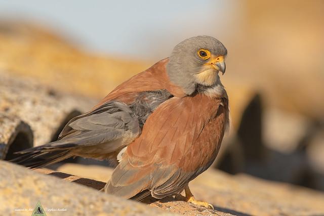 Grillaio - Falco naumanni