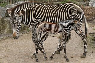Grevy zebra - Equus grevyi