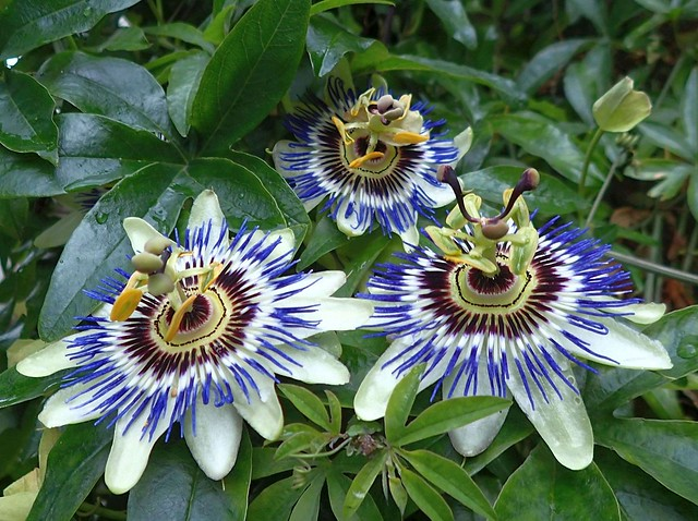 Passionately Wet. Passionflowers, Jacob van Lennepkade, Amsterdam, The Netherlands