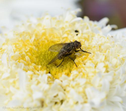 nikon d7200 micro macro 40mm fly flower craigshill livingston west lothian scotland september 2019 jason prince photography