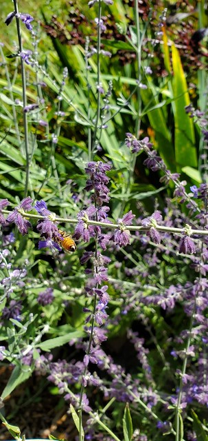 Russian Sage & Bee