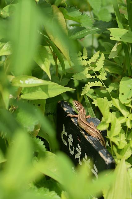 ニホンカナヘビ (Takydromus tachydromoides)