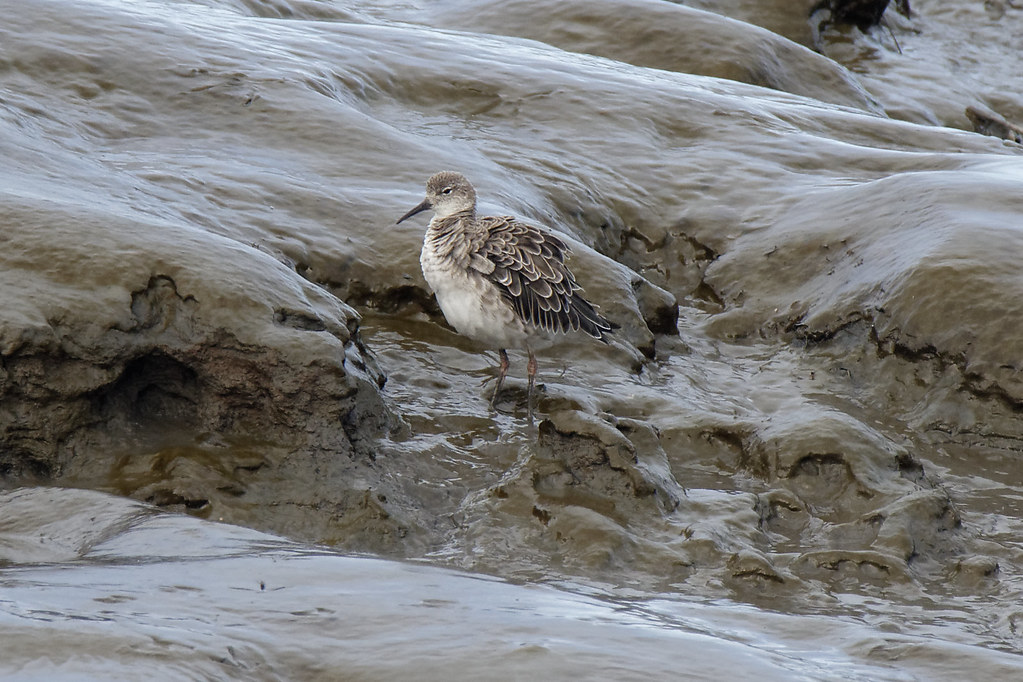 Ruff in the mud Dundalk Docks