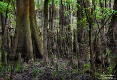 Tree Knuckles or Cypress Knees growing like a forest of Goblins
