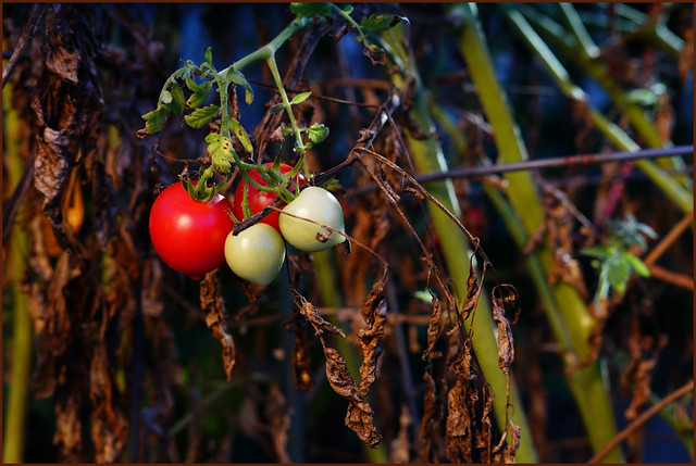 October Tomato 08538