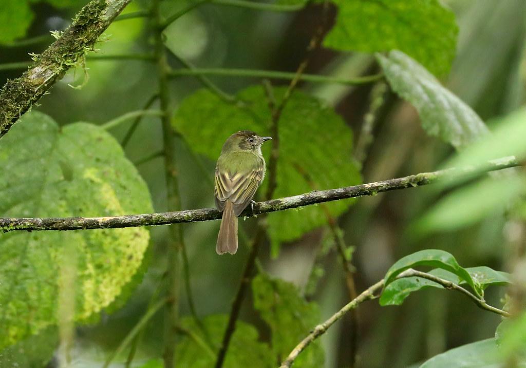 Sepia-capped Flycatcher --- Leptopogon amaurocephalus