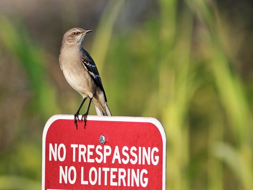 Northern Mockingbird one-eyed 01-20191004