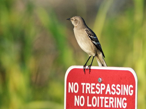 Northern Mockingbird one-eyed 02-20191004