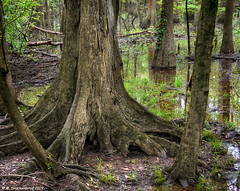 Buttressed Trunk and Root Structure Supporting a Water Tupelo Tree